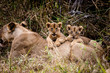 lion cubs on femail lion's back