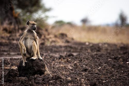 Aluminium Aap baboon portrait
