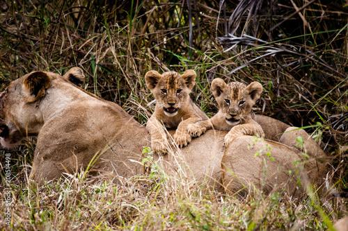 Fotobehang Lion lion cubs on femail lion's back