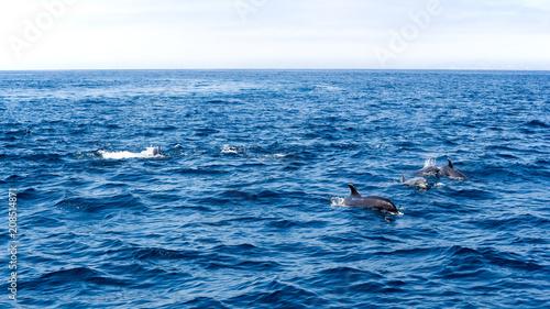 Aluminium Dolfijn Playful dolphins swimming in open ocean waters near Ventura coast, Southern California