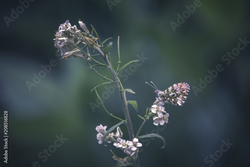 Aluminium Vlinder Papillon Aurore