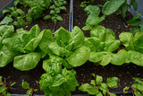 Urban homestead with lettuces - 208527458