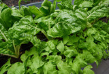 Urban homestead with lettuces - 208527471