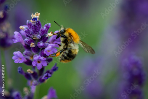 Fotobehang Bee Bee collecting pollen from a lavender flower