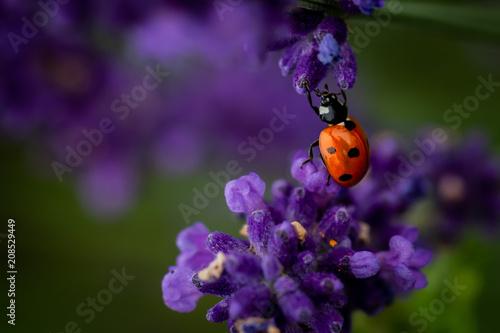 Fotobehang Lavendel Lady bug on a lavender flower