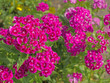 A lot of brightly pink dianthuses are blooming in the summer garden - 208530089