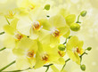 Yellow moth orchid flowers