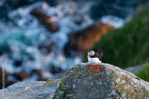 Foto Murales Puffin on cliff