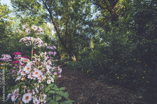 Japanese Primrose (Primula japonica) along a nature trail at Ringwood State Park, NJ in vintage setting