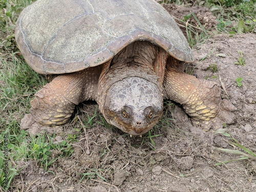 Fotobehang Schildpad Snapping turtle laying eggs