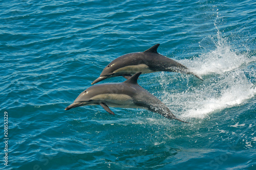 Fotobehang Dolfijn Two dolphins jumping in the ocean in the Sea of Cortez (Baja California, Mexico) - Delphinus delphin