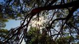 Promienie słońca przenikające przez gałęzie sosny - 208560289