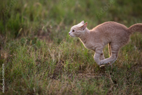 Aluminium Kangoeroe Young orange shorthair tabby cat running in a grassy field