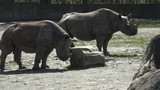 Two endangered rhinoceros (Diceros bicornis) standing close to each other 