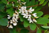 White flowers of Acacia - 208572061