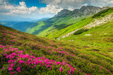 Magical pink rhododendron flowers in the mountains, Bucegi, Carpathians, Romania - 208579244