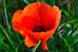 Czerwony kwiat polny - mak  (Papaver)