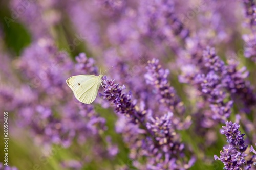 Fotobehang Vlinder Butterfly flying over lavender flower, butterflies on lavender flower