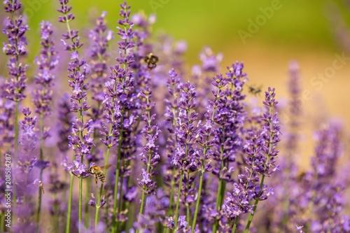 Fotobehang Lavendel honeybee flying over lavender flower, honeybee pollinating lavender flower