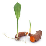 Baby turmeric plant - 208586859