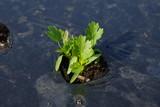 畑で生育するパクチー(コリアンダー) - 208589225