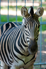 Zebra Chapman, Equus Burchelli Chapmani