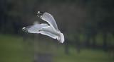 mouette avec ses ailes déployées - 208594418