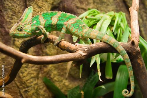 Kameleon w terrarium ogrodu botanicznego.