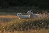 lambs - 208606265