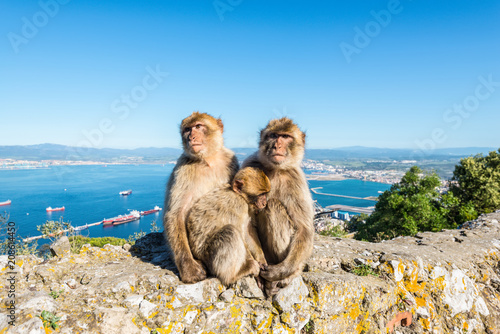Fotobehang Aap Famous wild Barbary macaques family that are relaxing in Gibraltar Rock