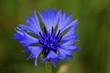 Leinwanddruck Bild - bleuet - centaurée
