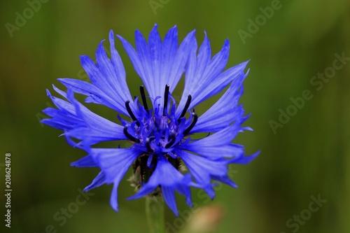 Leinwanddruck Bild bleuet - centaurée