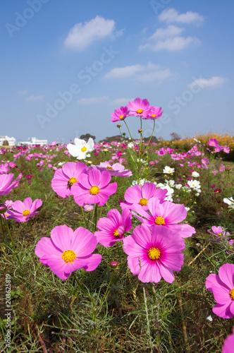 Cosmos Flower garden and Blue sky. コスモスのお花畑と青空 - 208625819