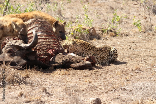 Poster Hyenas and leopard eating a buffalo