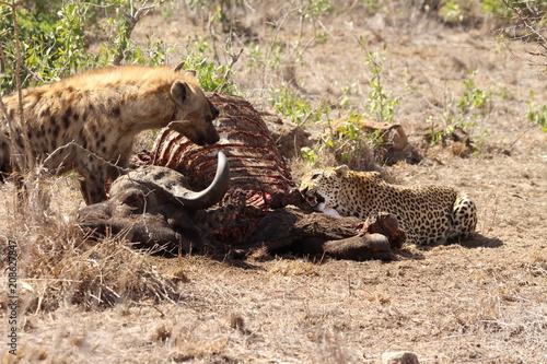 Fototapeta Hyenas and leopard eating a buffalo