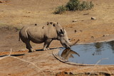 Rhino drinking at a water hole - 208630216