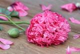 gefüllter Phäonien-Mohn in Pink Makro