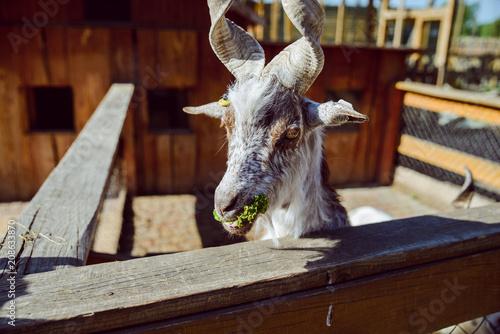 Poster goat close up. zoo life. farming