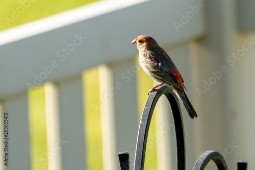 A house or purple finch perches about a backyard bird feeder