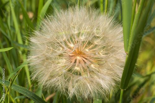 Canvas Paardenbloemen lush air flower dandelion with white fluff