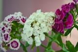 Турецкая гвоздика - цветущий многолетний цветок  - 208642094