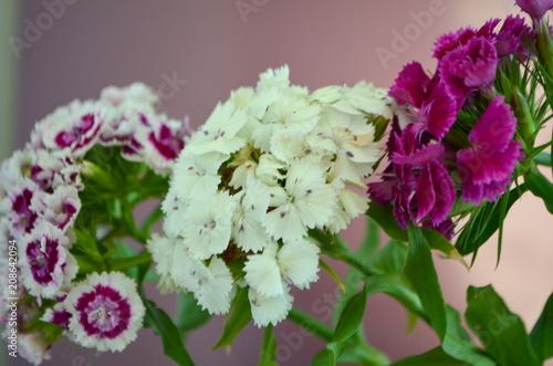 Foto Murales Турецкая гвоздика - цветущий многолетний цветок
