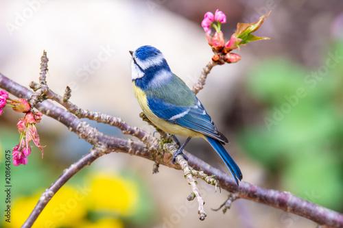 Blue tit bird in a cherry tree