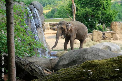 Fototapeta A small Indian Elephant walking by a waterfall