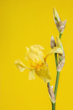 Yellow irise on yellow background - 208652823