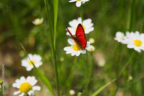 Fotobehang Vlinder Butterfly sitting on a camomile flower
