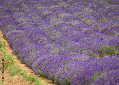 a picturesque view of blooming lavender fields