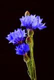 Blue Cornflower Herbs