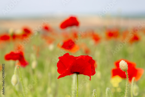 Aluminium Klaprozen Red poppies growing in the Sussex countryside on a sunny summers day