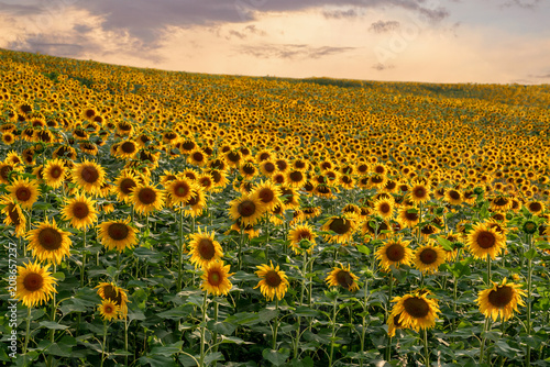 sunflower field landscape on sunset. Agriculture concept.